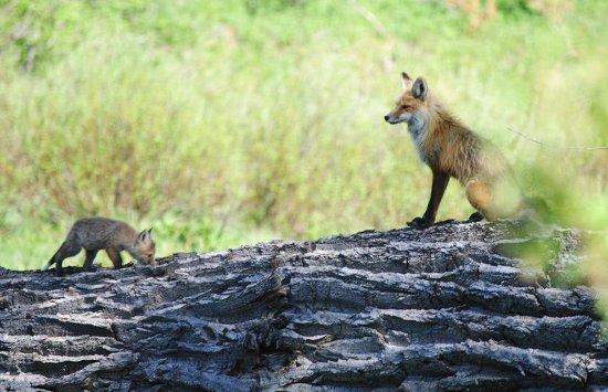 Jackson Hole Wildlife Safaris - Day Tours: Fox Den in Grand Teton Park