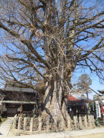 Hida Kokubun-ji Temple: Huge gingko tree