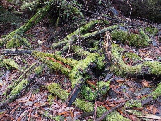 Legana, Avustralya: moss covered roots