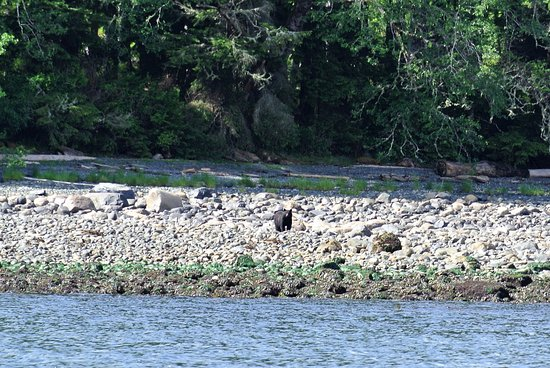 Port McNeill, Canada: Black bear on the beach - Dave spotted this within 5 min of leaving the marina