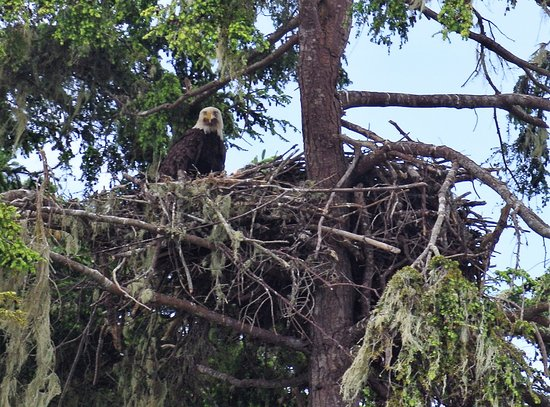 Port McNeill, Canada: Eagles nest - Dave will take you by this secret location
