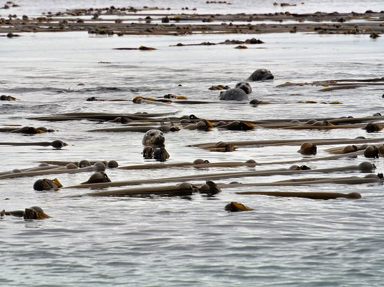 Port McNeill, Canada: Sea lions - can you see the little faces among the kelp?