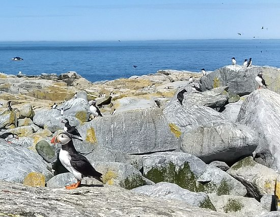 Cutler, ME: Onshore we're totally surrounded by puffins, razorbills, gannets, arctic terns, etc.