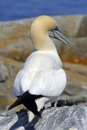 Cutler, ME: Northern Gannet