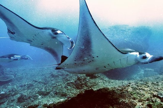 Diving with Manta Rays for Certified