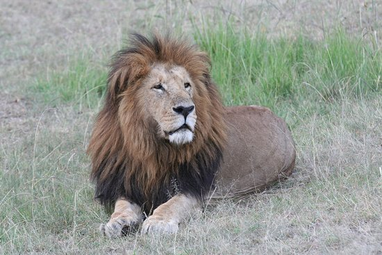 Porini Lion Camp : the camp's name-sake