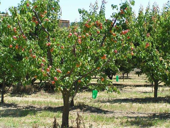 Ortaffa, Francia: abricotiers de la propriété