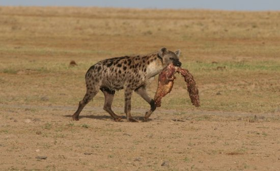Porini Rhino Camp: spotted hyena with a scavenged meal