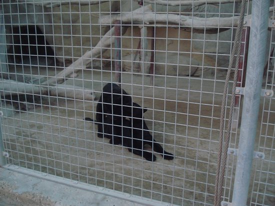 Doha Zoo: النمر الاسود