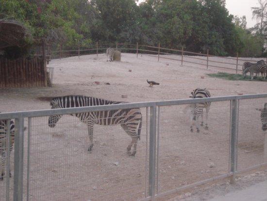 Doha Zoo: حمار الوحش