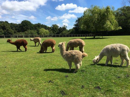 Pennybridge Farm Alpacas