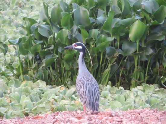 Birding San Pancho :  A heron in the estuary.