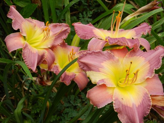 Luray, VA: Daylily Days are here!