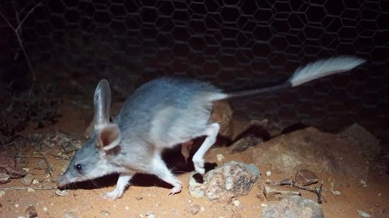 a greater bilby at the arid recovery reserve picture of arid