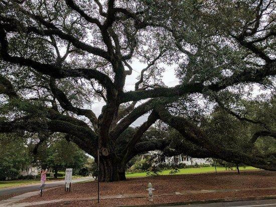 Thomasville, GA: Big oak