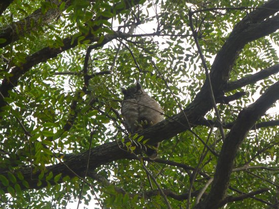 Pennington, Sudáfrica: Spotted Eagle Owls in the trees above our campsite