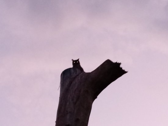 Pennington, Sudáfrica: The owls at dusk