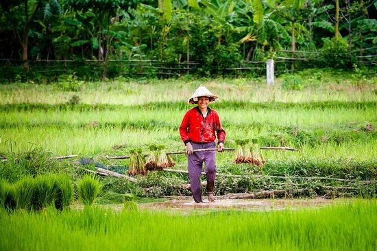 Rice planting near Champasak town