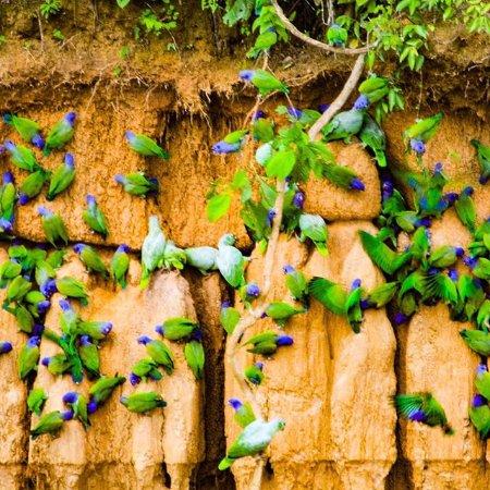 Amazing Peru : Clay lick - Amazon Expeditions