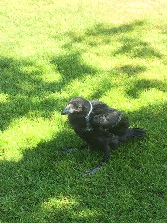 Knaresborough Castle : A Raven