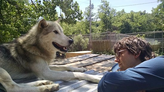 Brookville, IN: Humans and Wolves alike, both understand when it's nap time