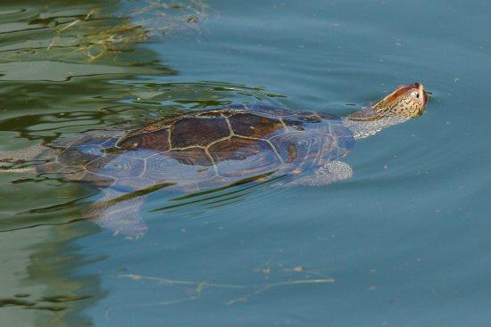 Tilghman, MD: Diamondback Terrapin swimming in the waters of the marina