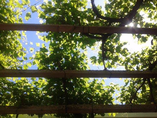 Plymouth, Kalifornien: sun peaking through the arbor of grapes