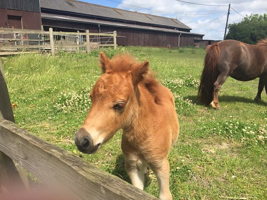 Woodbridge, UK: Pony foal just 13 weeks old