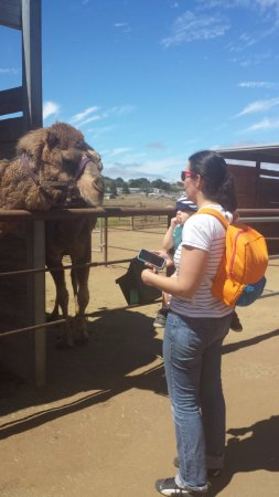 Oasis Camel Dairy : Getting to know the camels at Oasis Camel Farm.