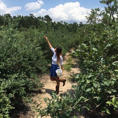 Conroe, TX: Picking blueberries