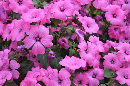 Kennett Square, PA: Pretty pink blooms