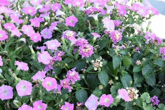 Kennett Square, PA: Pretty violet blooms