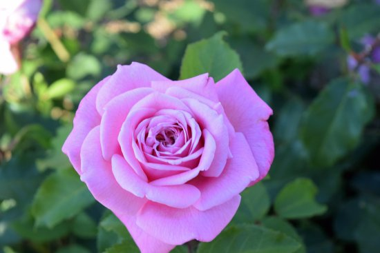 Kennett Square, PA: Pretty pink rose