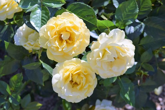 Kennett Square, PA: Pretty yellow roses