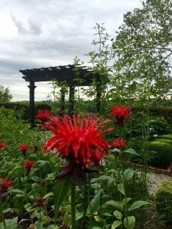 Bristol, PA: Beebalm blooming in Margaret's garden