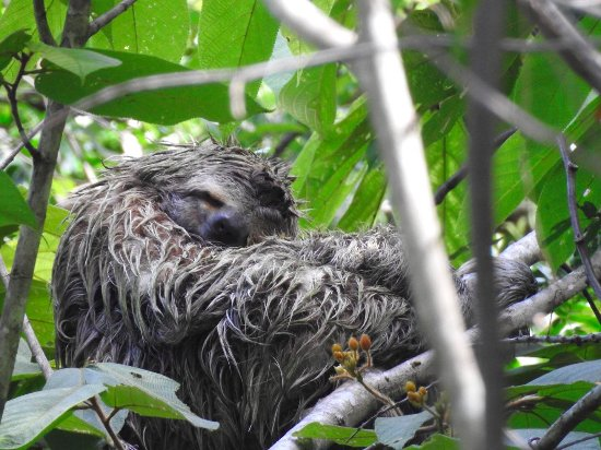 Carate, Costa Rica: Sloth right above the rooms!