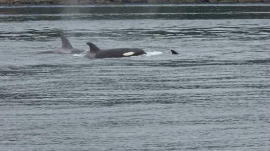 Puget Sound Express - Day Trips: Orcas, near San Juan Island