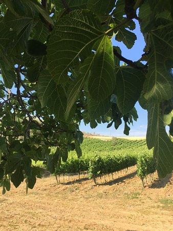 Pienza, Włochy: grapes!