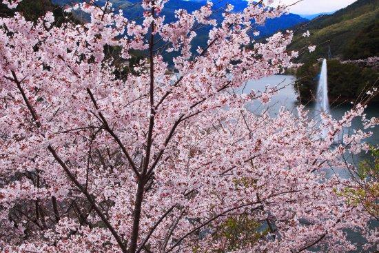 Mizukami-mura, Ιαπωνία: 桜満開1