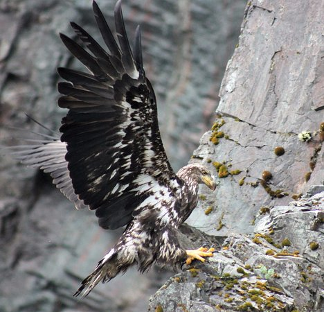 Trinity, Canada: Young Eaglet learning to fly.... and land!