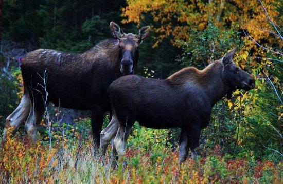 Trinity, Canada: Moose on the loose
