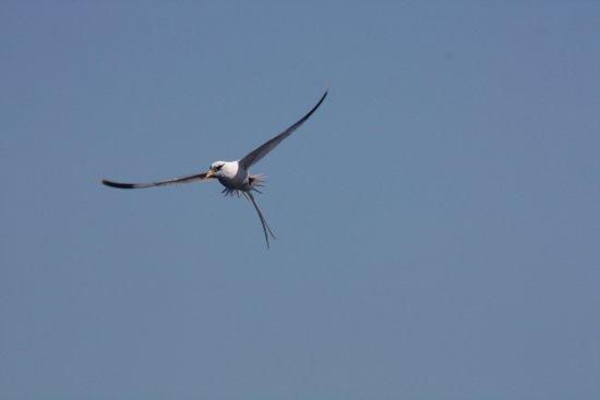 Grande Riviere Noire: Paille en queue - typical Mauritian bird seen during Blue Quest outing