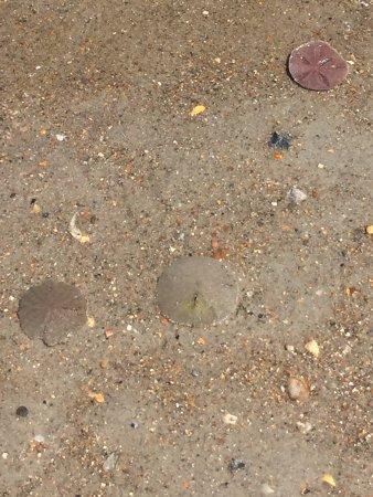 Beaufort, NC: Live sand dollars