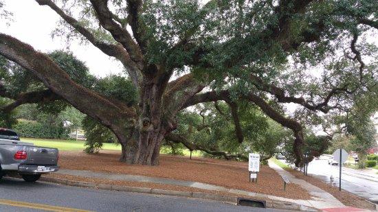 Thomasville, GA: 335 yr old Live Oak Tree