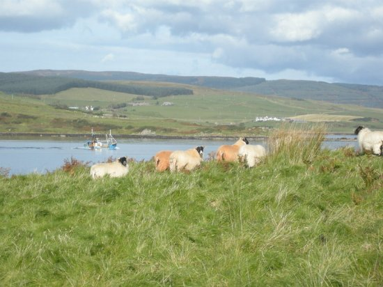 Kintyre Cottages: The sheep on the island looking north