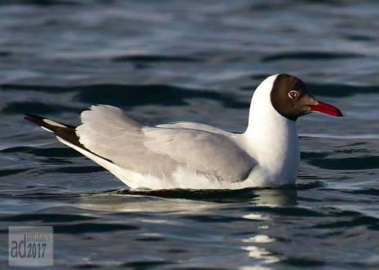 The Birds Island: Brown Headed Gull