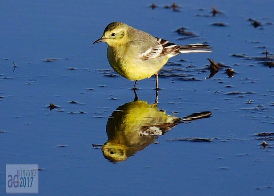 The Birds Island: Yellow Wagtail