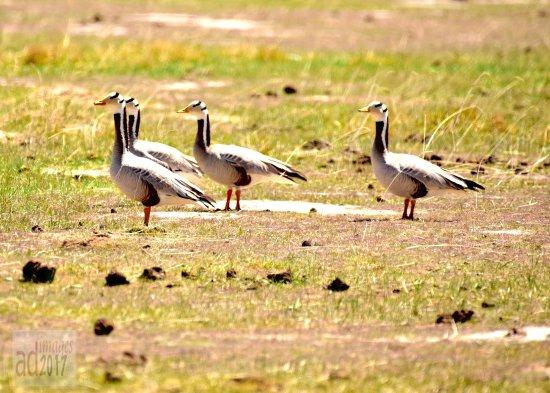 The Birds Island: Bar Headed Goose