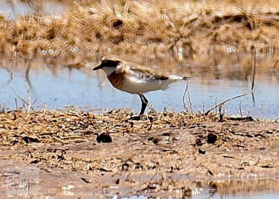 The Birds Island: Lesser Sand Plover