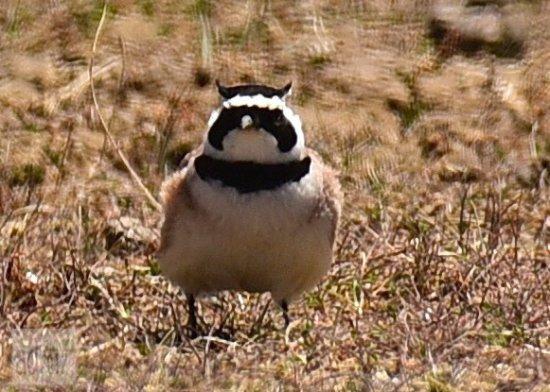 The Birds Island: Horned Lark